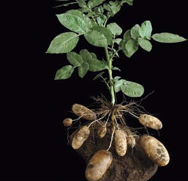 土豆生长过程步骤图片盆栽